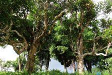 Văn hóa trà Việt Nam: Những tinh hoa độc lập trên bản đồ trà thế giới (Kỳ 1)