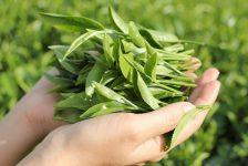Văn hóa trà Việt Nam: Những tinh hoa độc lập trên bản đồ trà thế giới (Kỳ 2)
